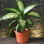 دیفن باخیا سمی ترین گیاه را چگونه پرورش دهیم؟ + تصاویر