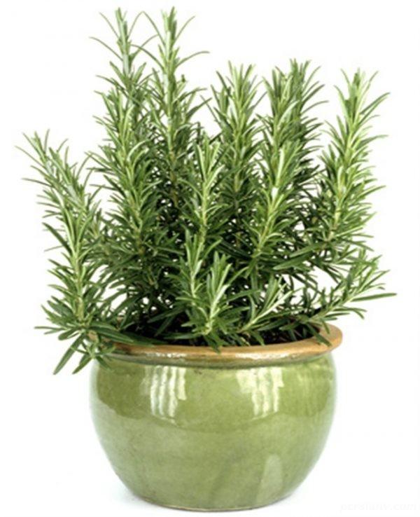 رزماری ، از کاشت تا نگهداری و پرورش این گیاه