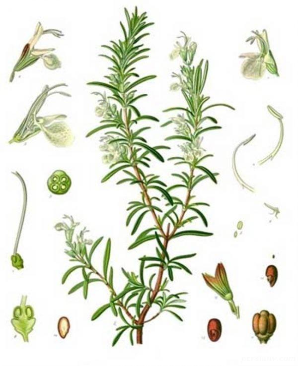کاشت گیاه رزماری