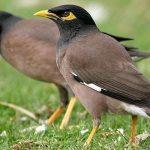 نگهداری از مرغ مینا پرنده ای کوچک زیبا و دلنشین