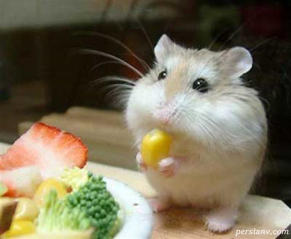 همستر چگونه حیوانی است؟/در هنگام خرید همستر باید به چه مواردی توجه کنیم؟