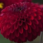 پرورش دادن گل کوکب چگونه است؟