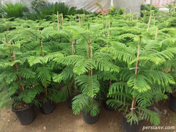 گیاه کاج مطبق و نگهداری و پرورش این گیاه + عکس