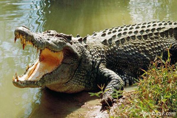 تمساح چگونه موجودی است و چه زیست گاهی دارد؟