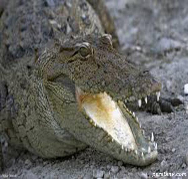 تمساح پوزه کوتاه ایرانی