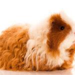خوکچه هندی چه حیوانی است؟