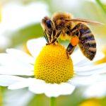 زنبورعسل چگونه زیستگاهی دارد؟