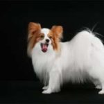 سگ پاپیلون چه حیوانی است؟