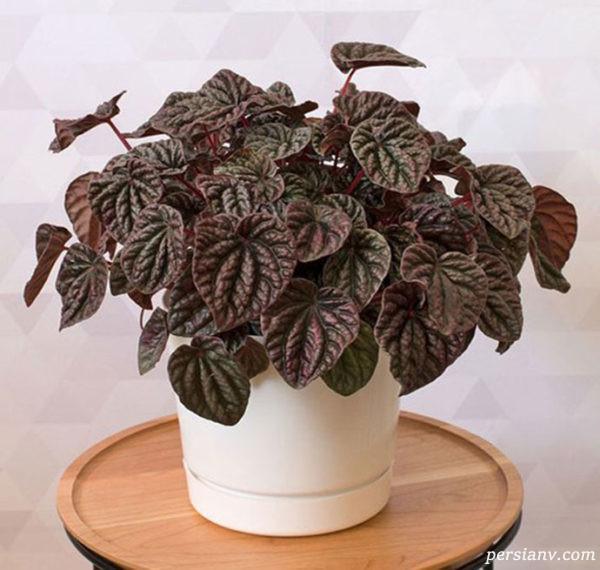 گل پرومیا