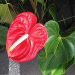 گل زیبای آنتوریوم را چگونه پرورش دهیم + عکس