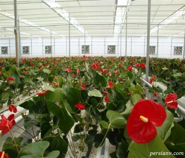 پرورش گل آنتوریوم