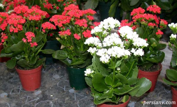 گل کالانکوئه را چگونه پرورش دهیم + عکس