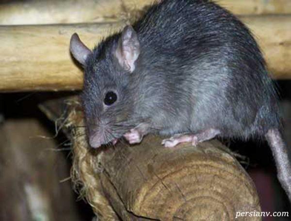 موش ها و انواع آن ها | چگونه با آنها مقابله کنیم؟