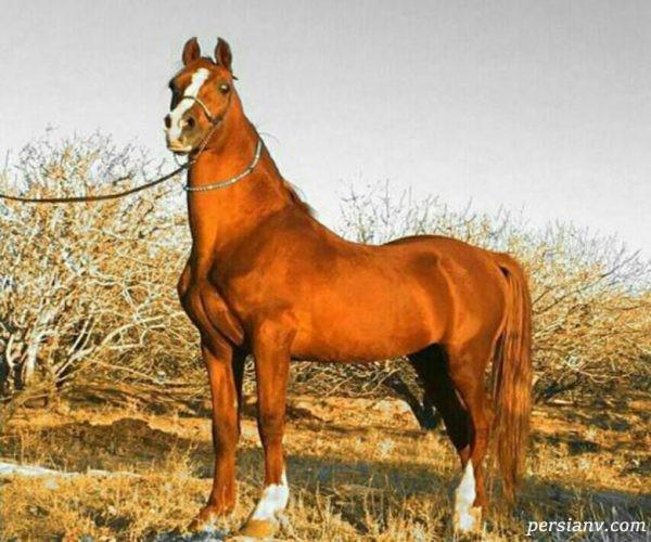 نژادهای مختلف اسب ها