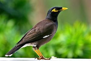 پرنده مرغ مینا را چگونه آموزش دهیم؟