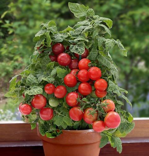 کاشتن گوجه فرنگی در گلدان