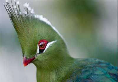 پرنده آفریقایی توراکو