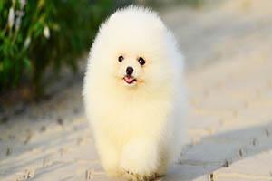 سگ پامِرانیان چه نژادی دارد؟