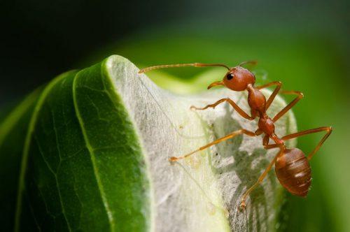 حشره مورچه