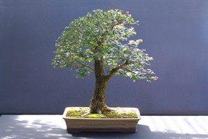 گیاه زالزالک زینتی را چگونه پرورش دهیم؟