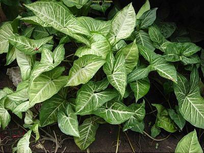 گیاه سینگونیوم