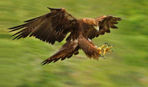 پرنده عقاب