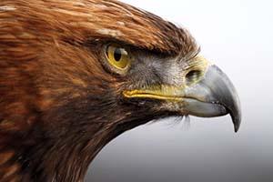 عقاب | ویژگی ها و دو نژاد محبوب عقاب