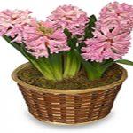 گل سنبل را این گونه پرورش دهید + تصاویر انواع سنبل