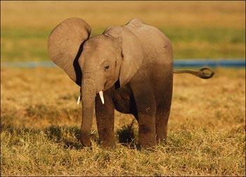 فیل بزرگ ترین پستاندار خشکی