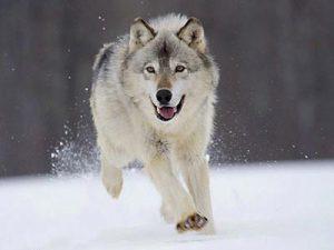 انواع گرگ ها