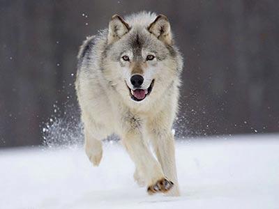 گرگ ها چند دسته هستند؟