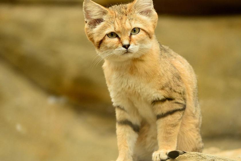 گربه شنی چگونه حیوانی است؟