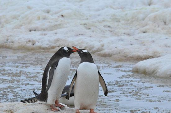 انواع پنگوئن و نحوه ی زندگی آنها را بشناسید