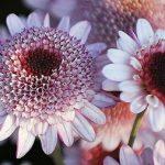 آشنایی با طرز كاشت و نگهداری گل داوودی