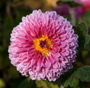 آشنایی با روش نگه داری گل های پاییزی