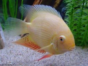 آشنایی با ماهی مهربان سورم!