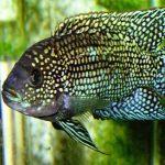 آشنایی با روش نگهداری از ماهی جک دمپسی
