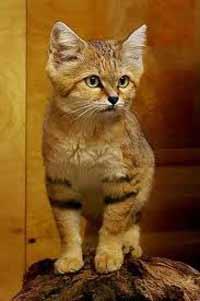 گربه شنی، به کدام گروه از گربه ها تعلق دارد؟