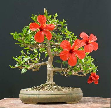 آشنایی با گل آپارتمانی ختمی چینی گلسرخی