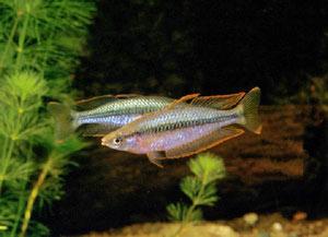 آشنایی با ماهی رنگین کمان قلمی