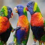 آشنایی با طوطی های لوری و لوریکیت رنگارنگ ترین طوطی ها