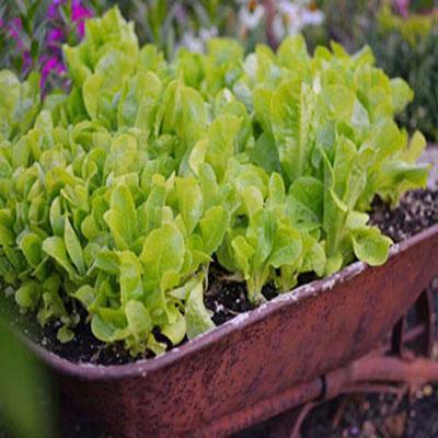 چگونه در خانه کاهو پرورش دهیم؟
