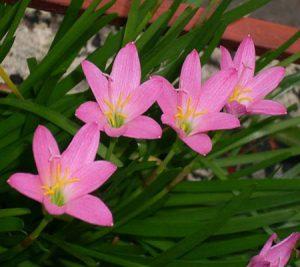 آشنایی با پرورش گل سوسن باران