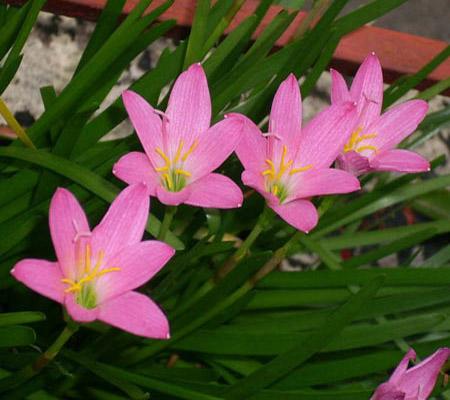 پرورش گل سوسن باران