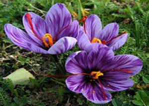 نحوه کاشت گیاه زعفران