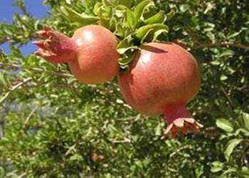میوه انار چه آفات و بیماری هایی می تواند داشته باشد؟