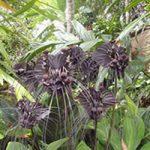 پرورش و نگهداری گل خفاش