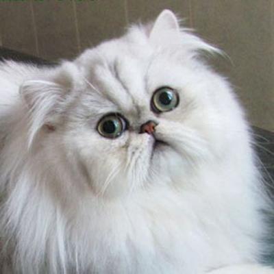 گربه های چین چیلا