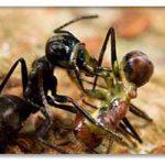 مورچه ها تروریست انتحاری دارند