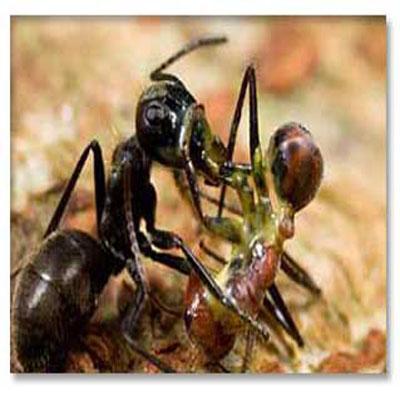 مورچه های تروریست